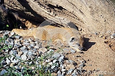 Dwarfish mongoose