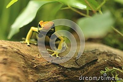 Dyeing dart frog