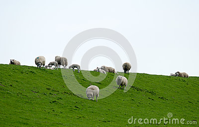 Dyke Sheep