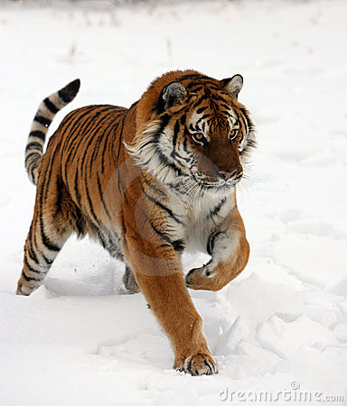 Działający siberian śniegu tygrys
