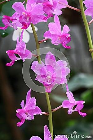 Dzika orchidea