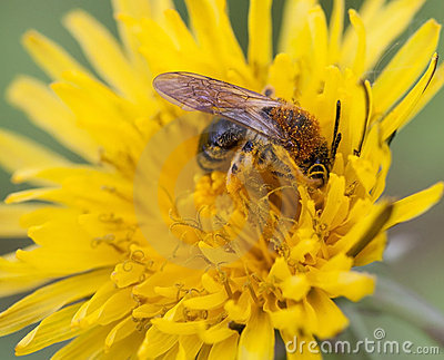 Dzika pszczoły praca