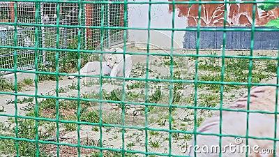 Dziki duży biały tygrys spoczywa na białym piasku z zieloną trawą zbiory wideo