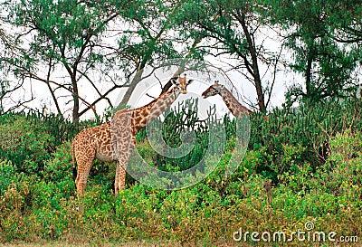 Dzikie żyrafy w sawannie