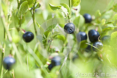 Dzikie czarne jagody