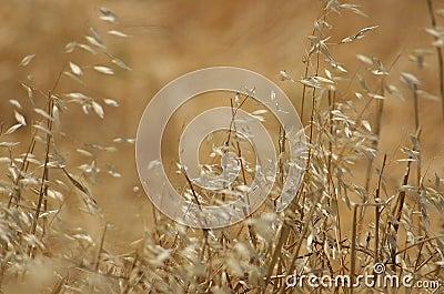 Dzikie trawy
