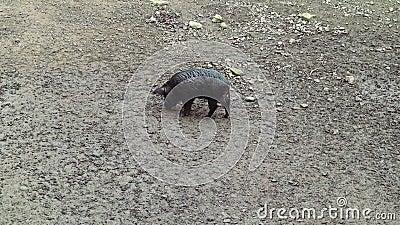 Eén wilde, vuile en natte beer zit in vuil met een nikkel op zoek naar voedsel Omnivore artiodactyl non-ruminant wild stock footage