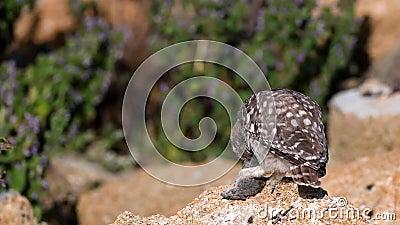 E Молодой noctua Athene маленьких сычей сидит на камне, держит мышь в своей лапке и взгляды на камере сток-видео