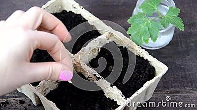 Meisjeszaaigoed in een doos voor zaailingen Gardening Gereedschap voor tuin en een plantenpot op een houten tafel Om in het stock footage