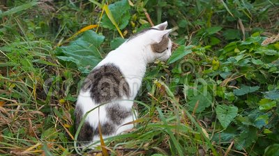 El joven gato gris y blanco está caminando por el césped verde El gato doméstico está cazando suelto El gato está en lo alto almacen de video