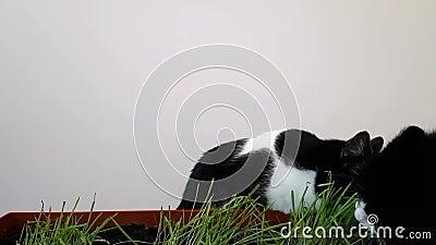 Zwei Katzen essen das Gras, das zu Hause gewachsen wird Neue Vegetation für Haustiere Gekeimte Hafer zu Hause stock footage