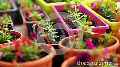 Gardening Meisje werkt in de tuin van struiken hydrangea Vrouw tuinwater bloemen met drenkast Bloemen zijn stock video