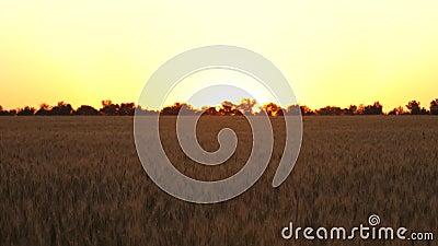Cosecha de cereales maduración de trigo en verano Campo de trigo maduro contra puesta de sol espigas de trigo maduras con grano e metrajes