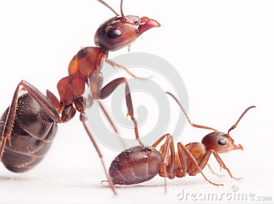 Each new born ant has 2-3 nurses and mentors