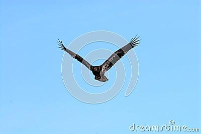 Eagle-06
