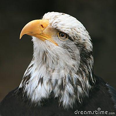 Free Eagle Stock Photos - 7939393