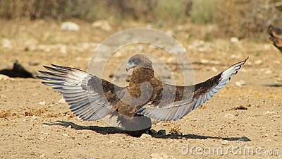 Eagle, Brown Snake - Absolutely Stunning 2