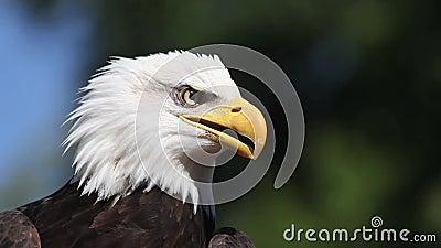 Eagle calvo, leucocephalus del haliaeetus, retrato del adulto que llama y que mira alrededor, almacen de metraje de vídeo