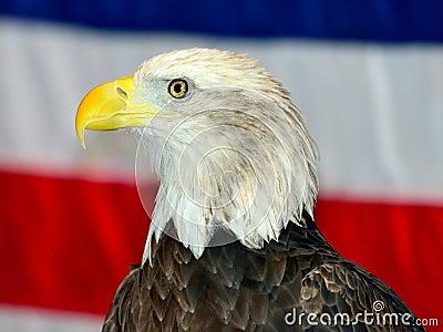 Eagle chauve