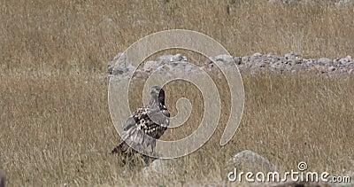 Eagle dalla coda bianca sopra roccia stock footage