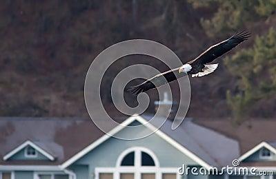 Eagle flies low near buildings.