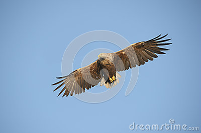 Eagle in flight.