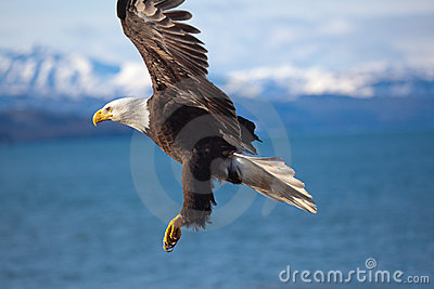 Bald Eagle Flying Wings Spread