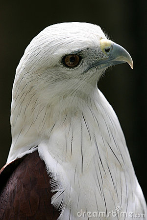 Free Eagle From Slightly Above Royalty Free Stock Image - 274196