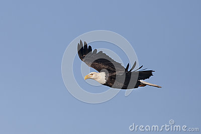 Eagle glides in the sky.