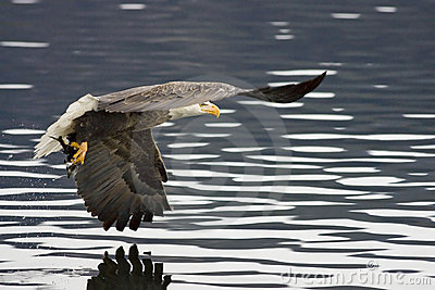 An eagle has a fish in its talons.