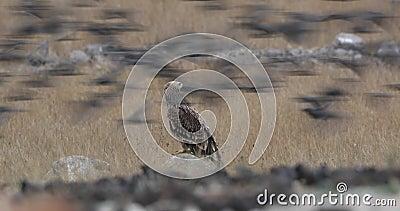 Eagle imperial oriental na rocha vídeos de arquivo