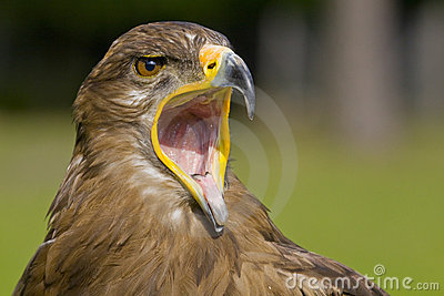 Eagle with open beak