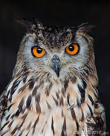 Free Eagle Owl Stock Photography - 19953452