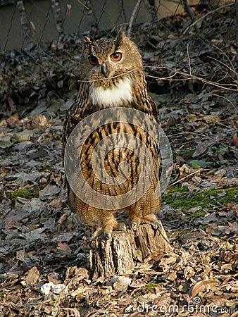 Free Eagle Owl Royalty Free Stock Photo - 22938655