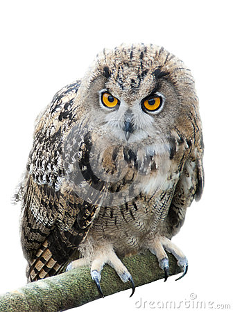 Eagle owl bird