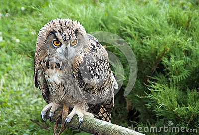 Eagle owl bird