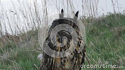 Eagle Owl Eurasiano empoleirado num tronco de árvore video estoque