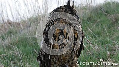 Eagle Owl Eurasiano empoleirado num tronco de árvore filme
