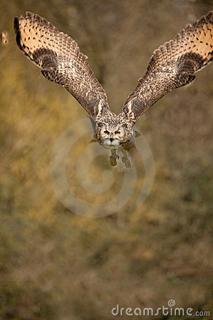 Eagle Owl in Flight 2