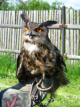 Eagle owl in the hand