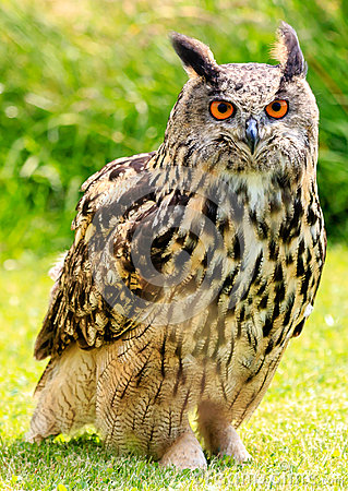 Free Eagle Owl In A Field Stock Photography - 43110032