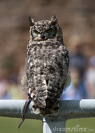 Eagle Owl on a perch