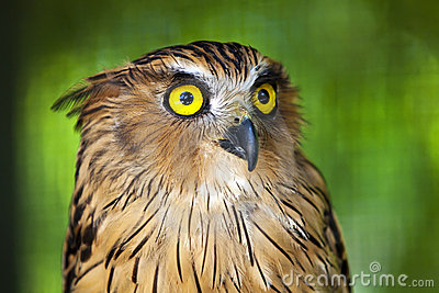 Eagle owl with piercing eyes.