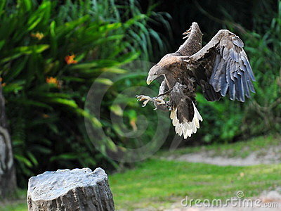 Eagle performing a landing