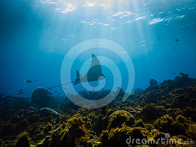 Eagle ray flys across a coral reef