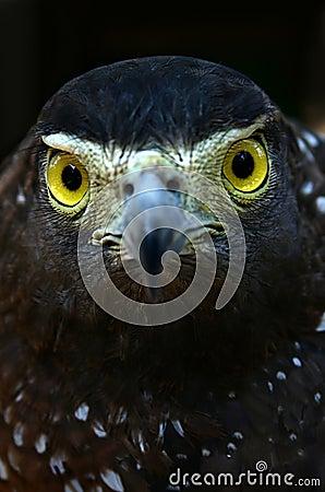 Eagle s stare
