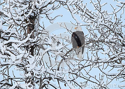Eagle with snow covered branches