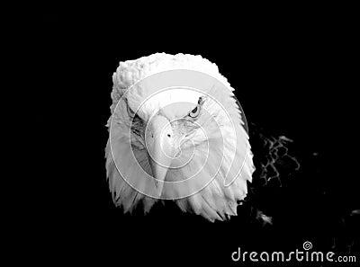 Eagles Gaze