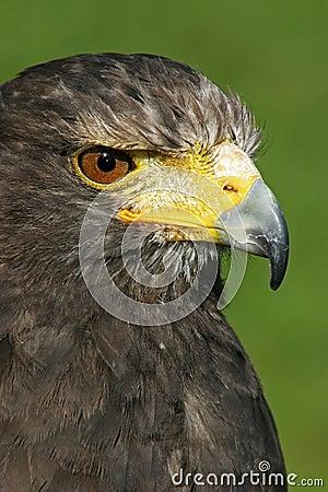 Eagle staring at prey