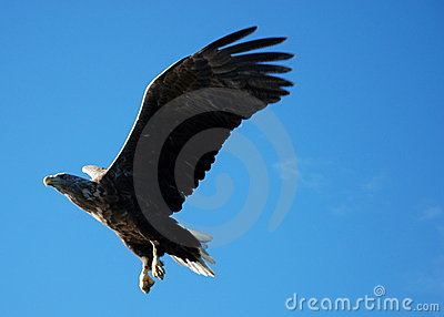 Eagle Striking